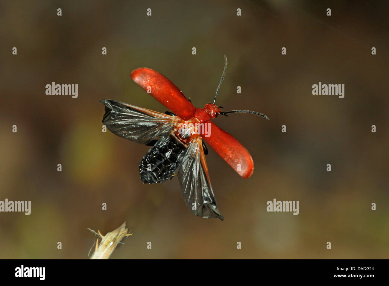 scarlet fire beetle, cardinal beetle (Pyrochroa coccinea), flying, Germany - Stock Image