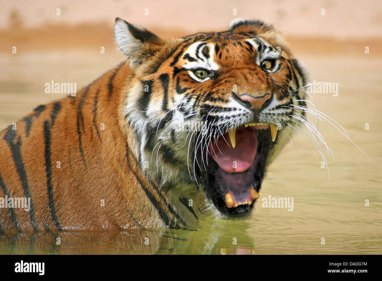 Siberian tiger, Amurian tiger (Panthera tigris altaica), sitting in the water snarling - Stock Image
