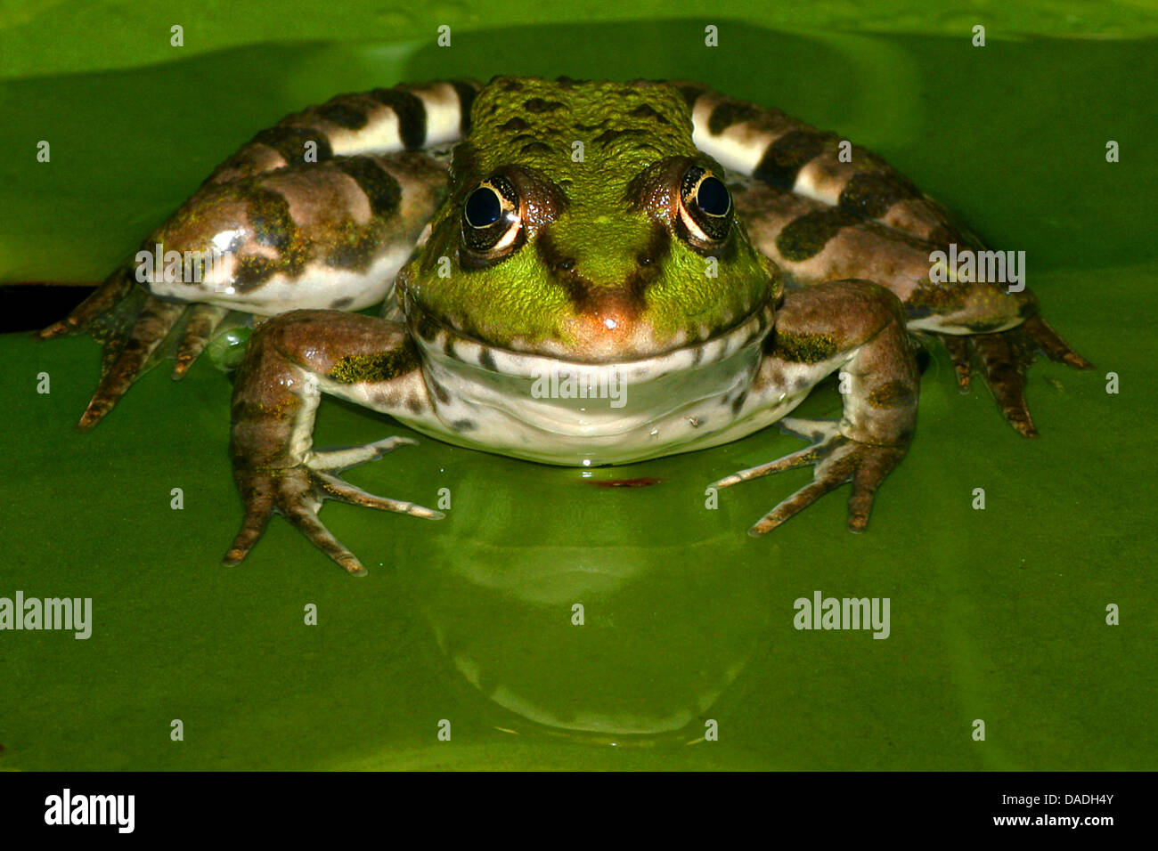 European edible frog, common edible frog (Rana kl. esculenta, Rana esculenta), sitting on a leaf in shallow water, - Stock Image