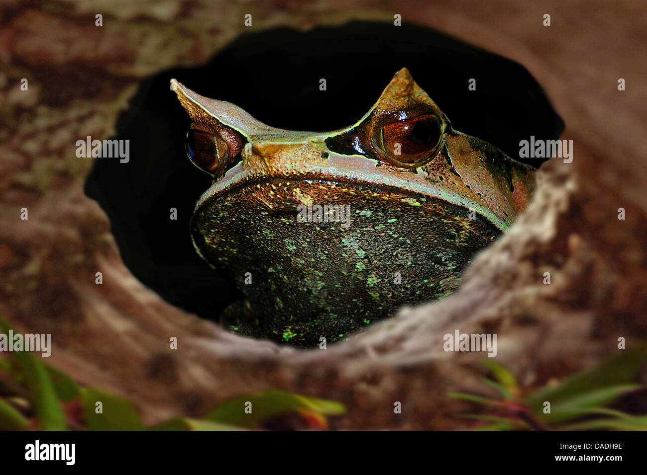 Asian spadefoot toads, horned-nosed frogs, horned toads (Megophrys nasuta), looking through a twig hole, Malaysia - Stock Image
