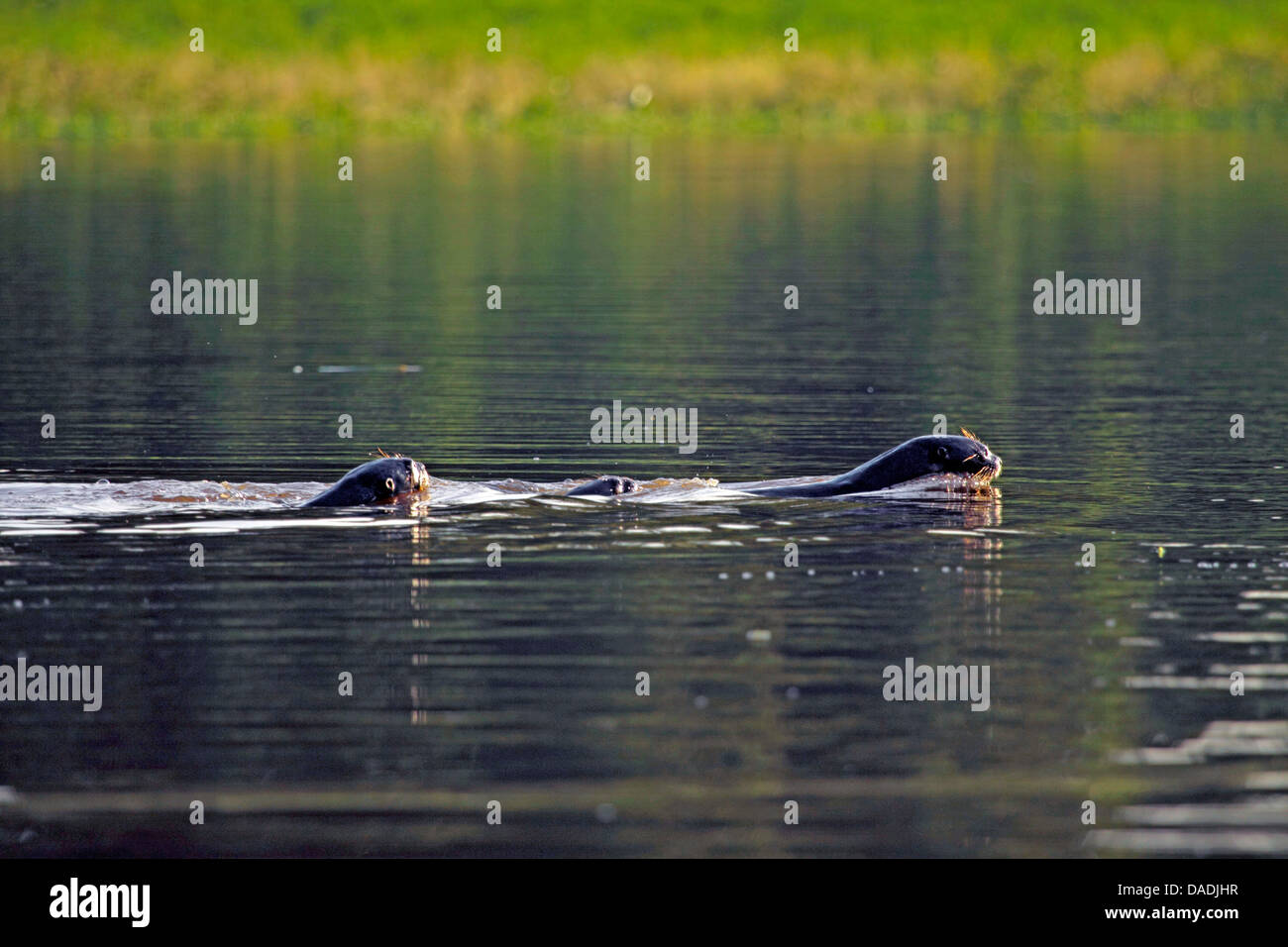 giant otter (Pteronura brasiliensis), family swimming, Peru, Loreto, Pacaya Samiria National Park Stock Photo