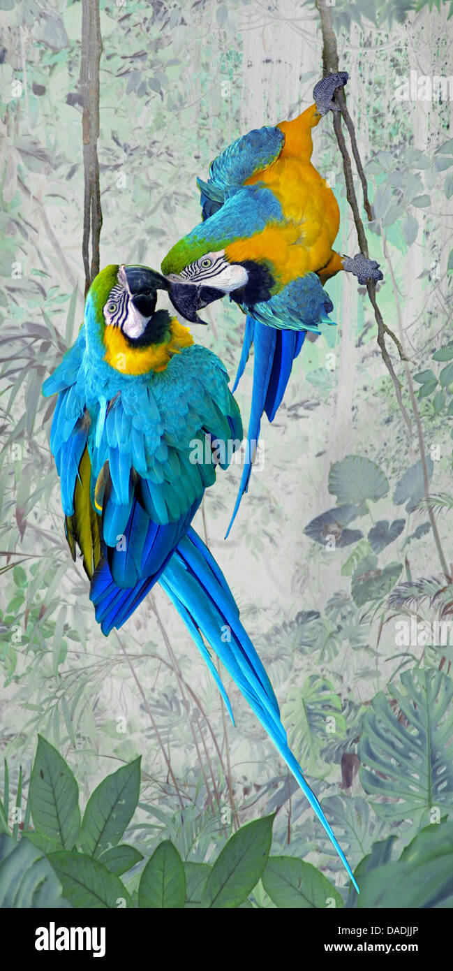 Blue and yellow macaw, Blue and gold Macaw, Blue-and-gold Macaw, Blue-and-yellow Macaw (Ara ararauna), two macaws - Stock Image