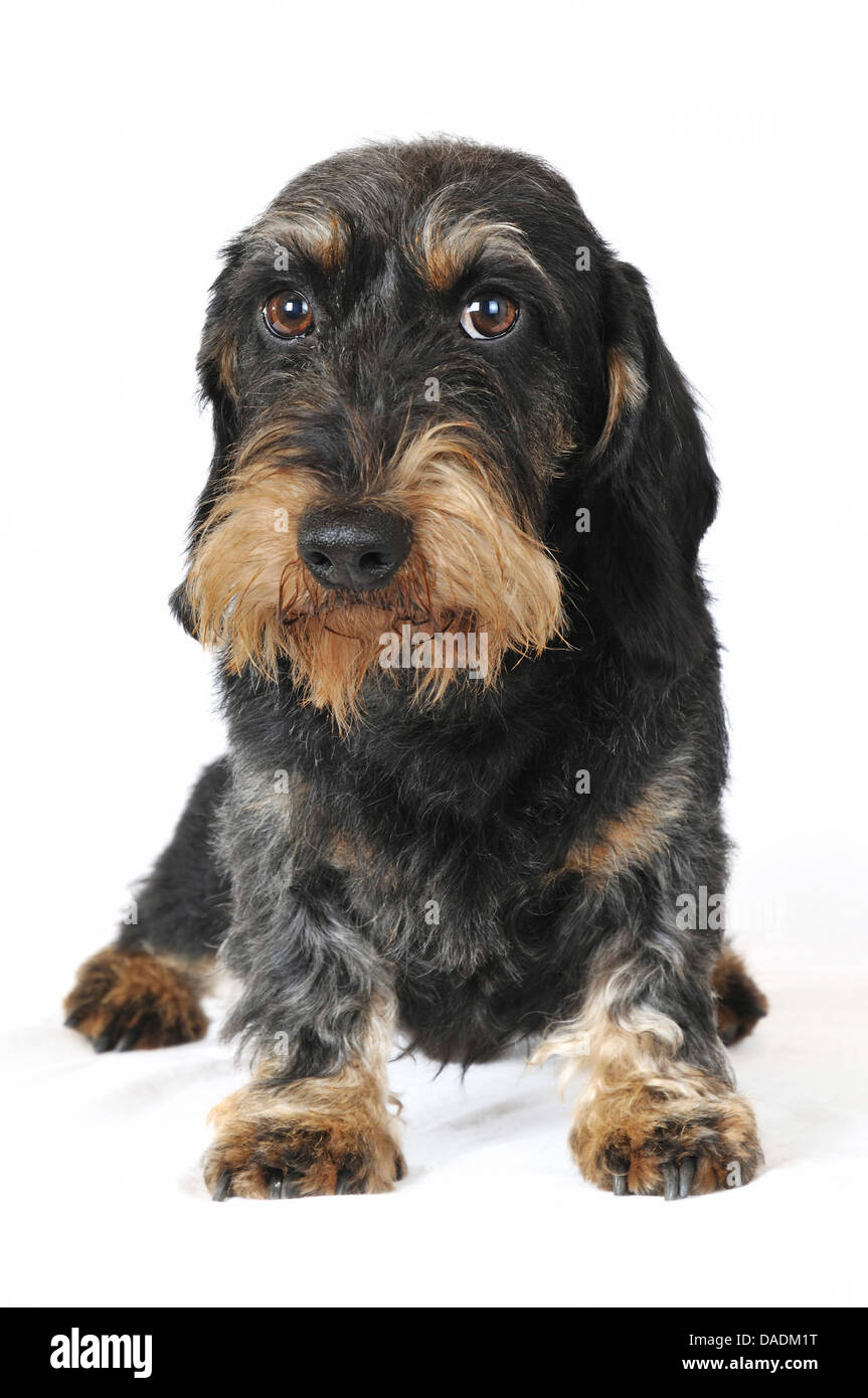 Wire-haired Dachshund, Wire-haired sausage dog, domestic dog (Canis lupus f. familiaris), front view, Germany - Stock Image