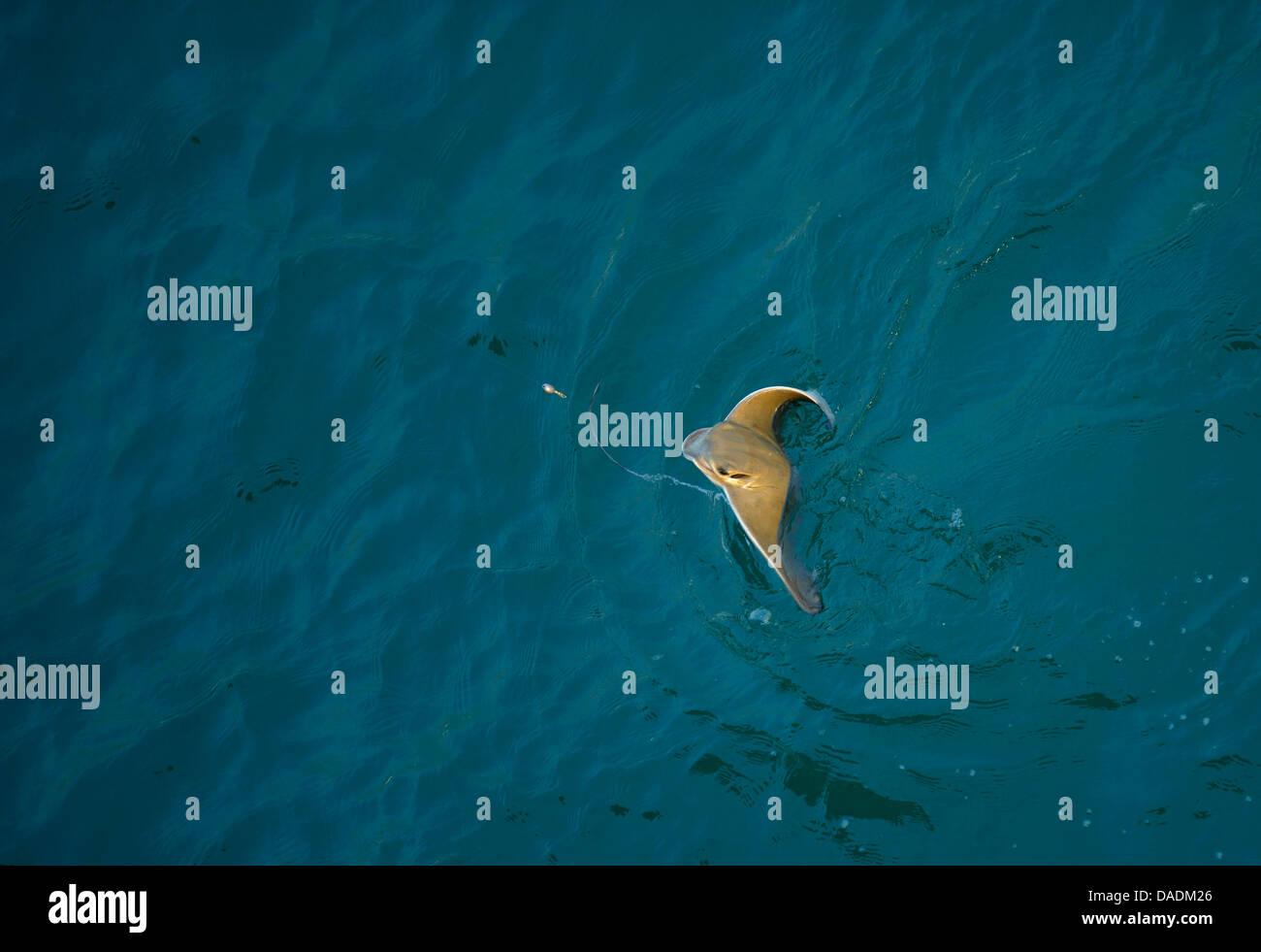 stingrays (butterfly rays) (Dasyatidae), fished stingray on water surface, USA, California, Huntington Beach - Stock Image