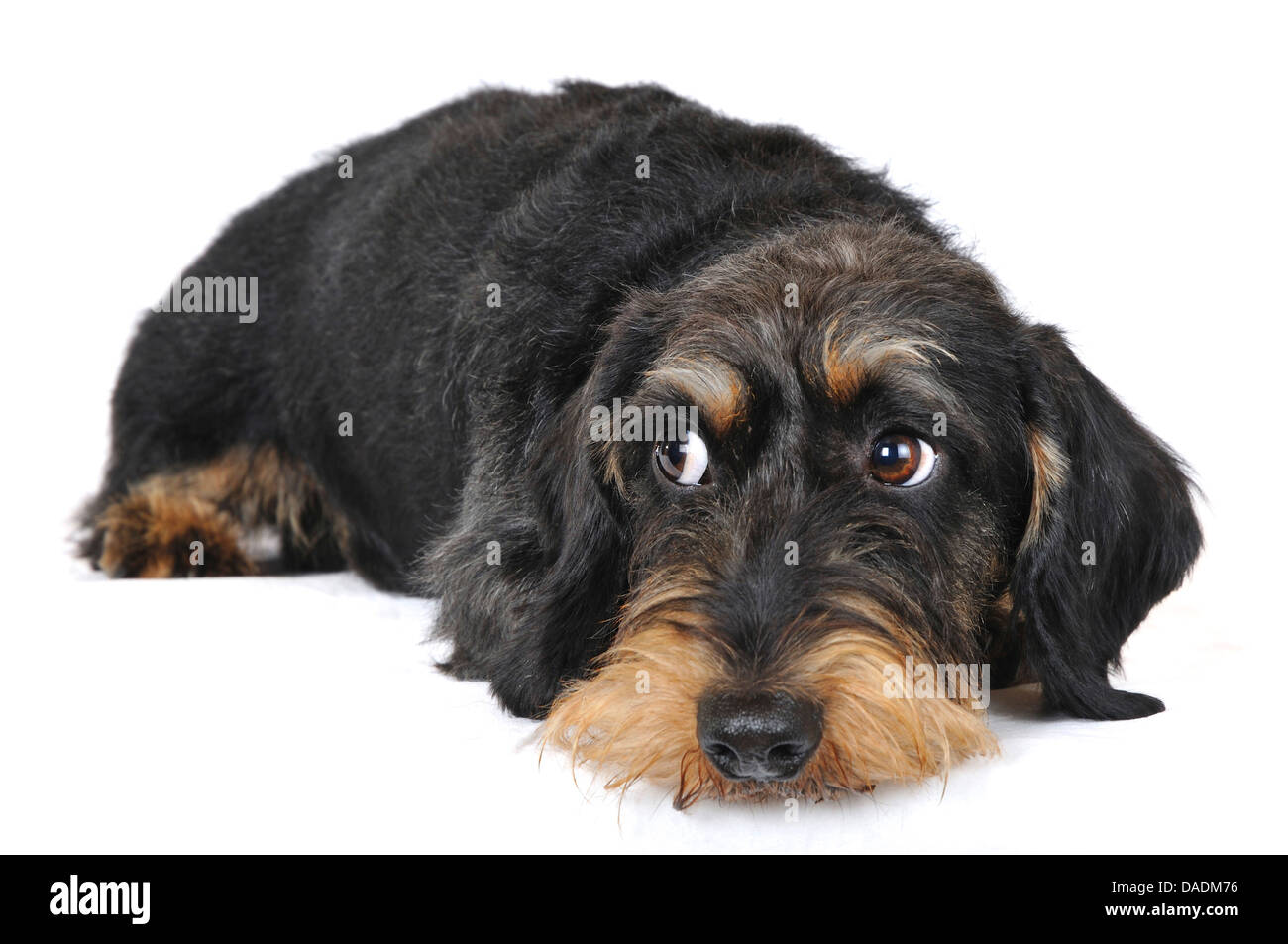 Wire-haired Dachshund, Wire-haired sausage dog, domestic dog (Canis lupus f. familiaris), side glance, Germany, - Stock Image