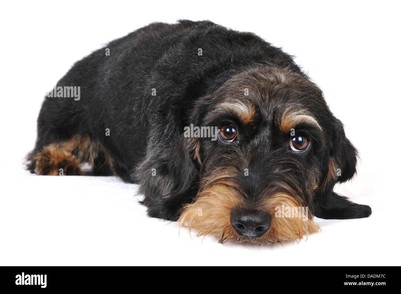 Wire-haired Dachshund, Wire-haired sausage dog, domestic dog (Canis lupus f. familiaris), lying, Germany, Nordrhein Stock Photo