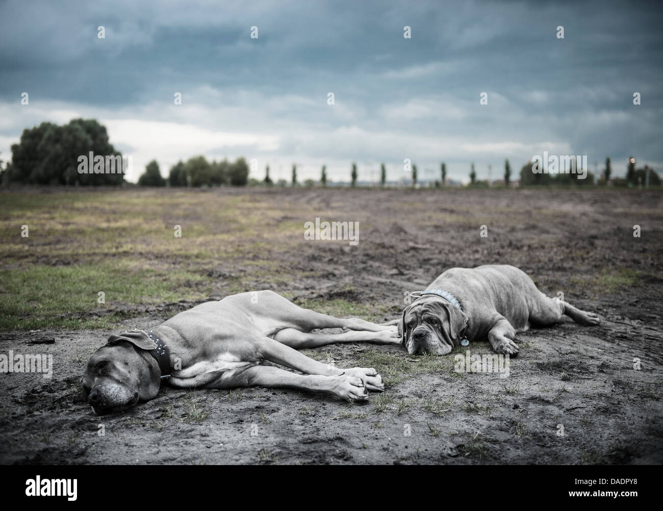 Two large grey dogs lying on wasteland - Stock Image