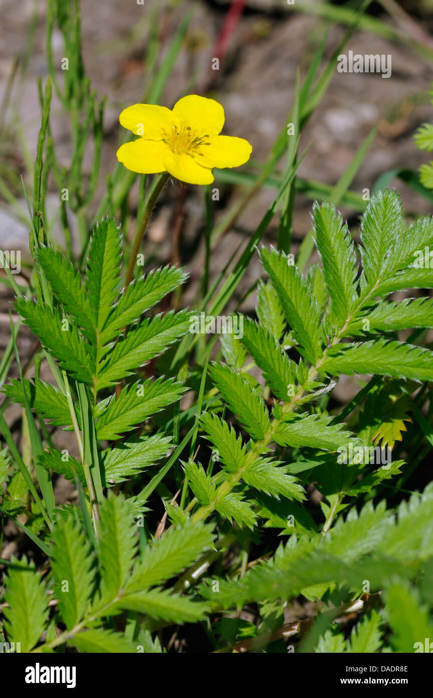 Yellow Flower Silver Weed Silverweed Stock Photos Yellow Flower