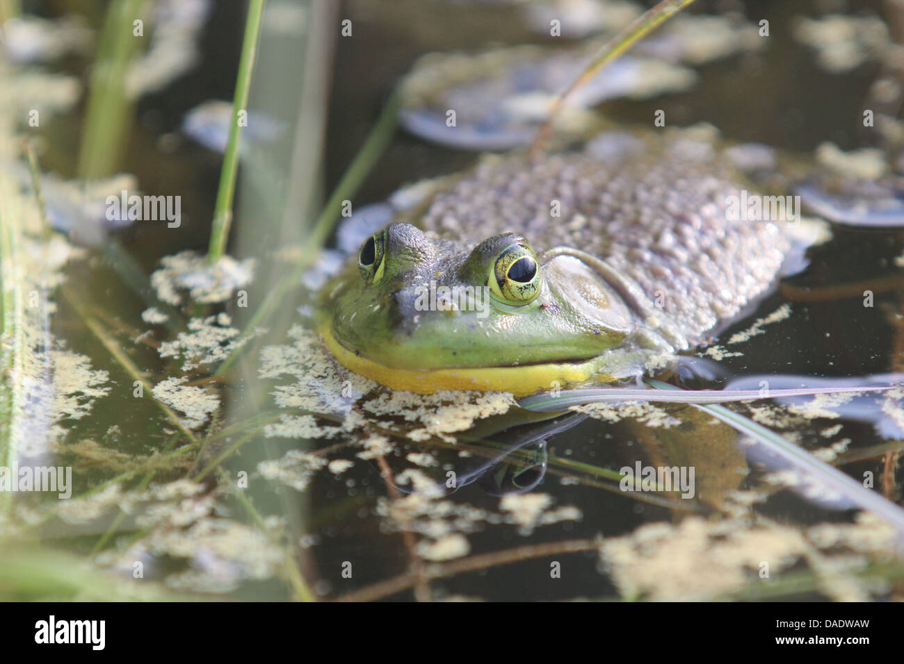 Camouflaged frog in water Stock Photo