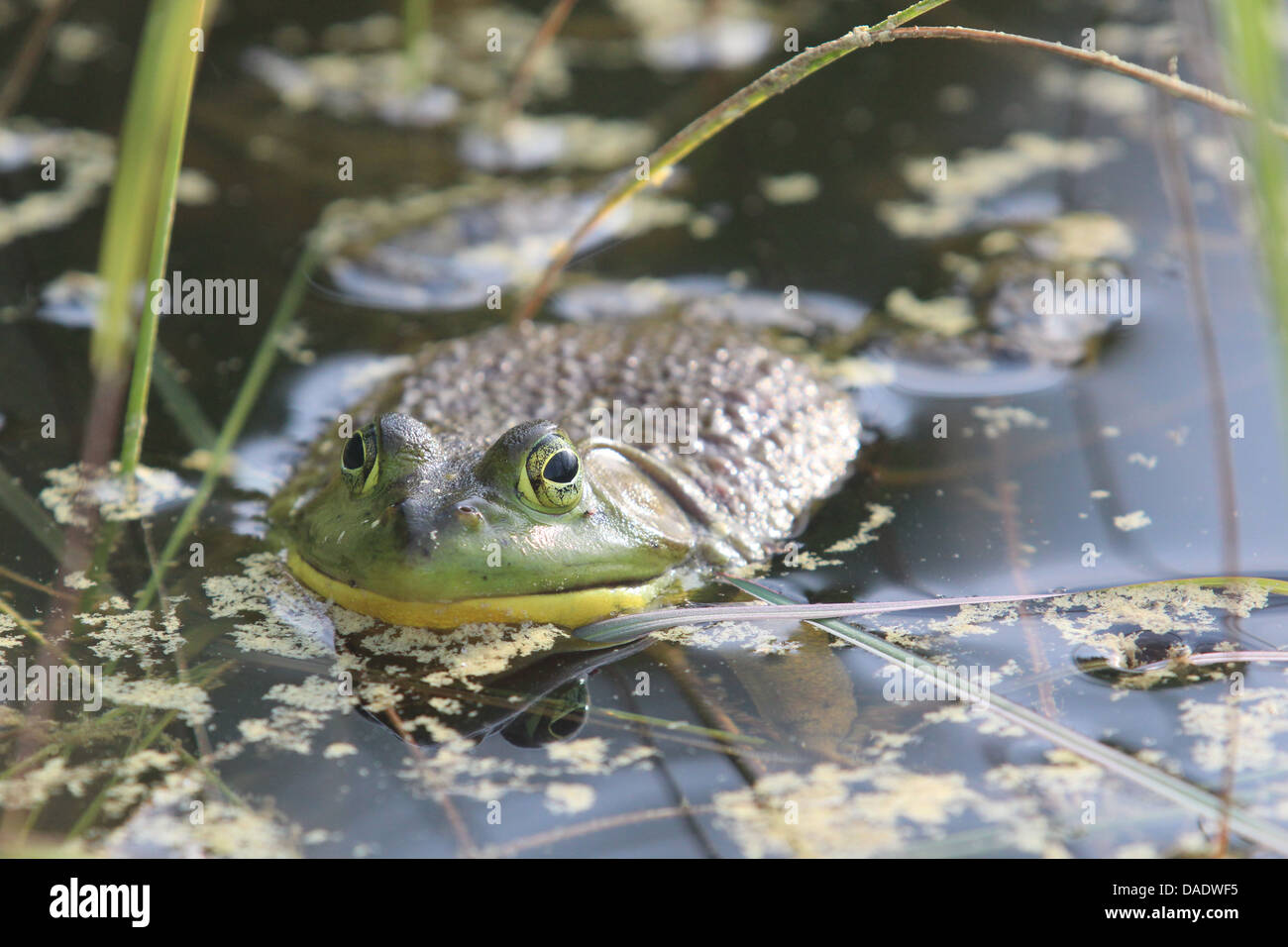 Large bullfrog in water Stock Photo