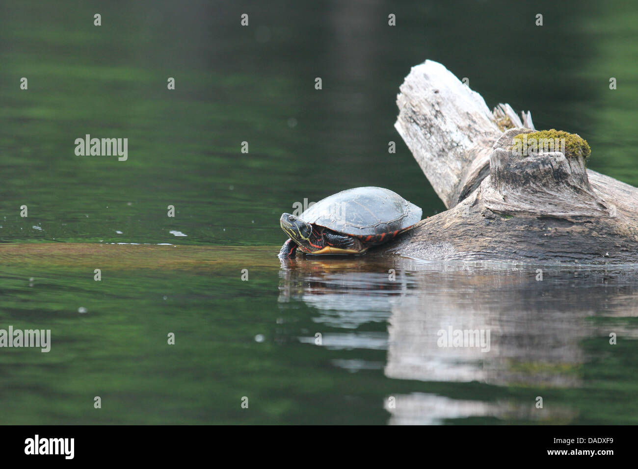 Turtle on log in pond Stock Photo