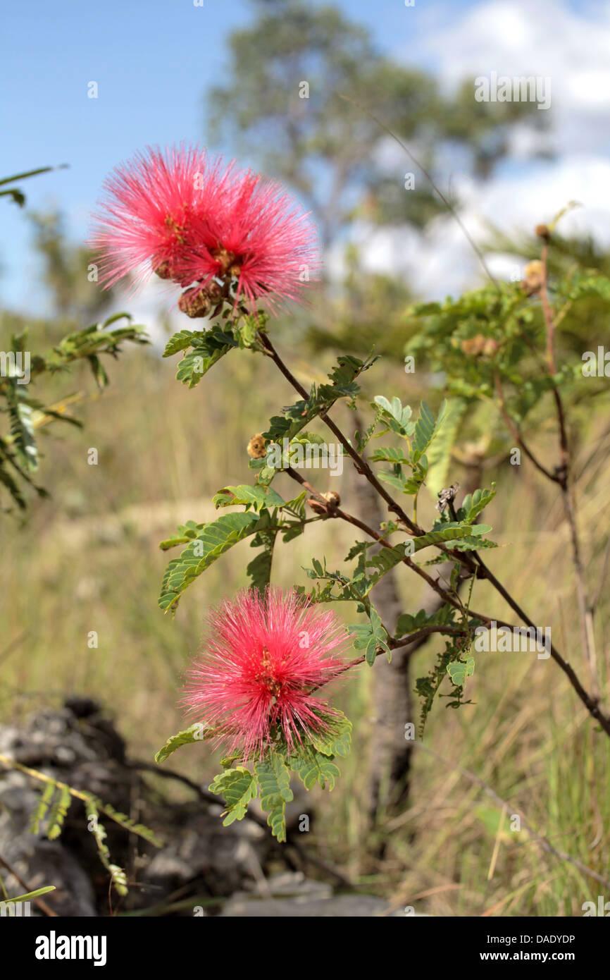 Flower of the Chapada dos Veadeiros Goias Brazil - Stock Image
