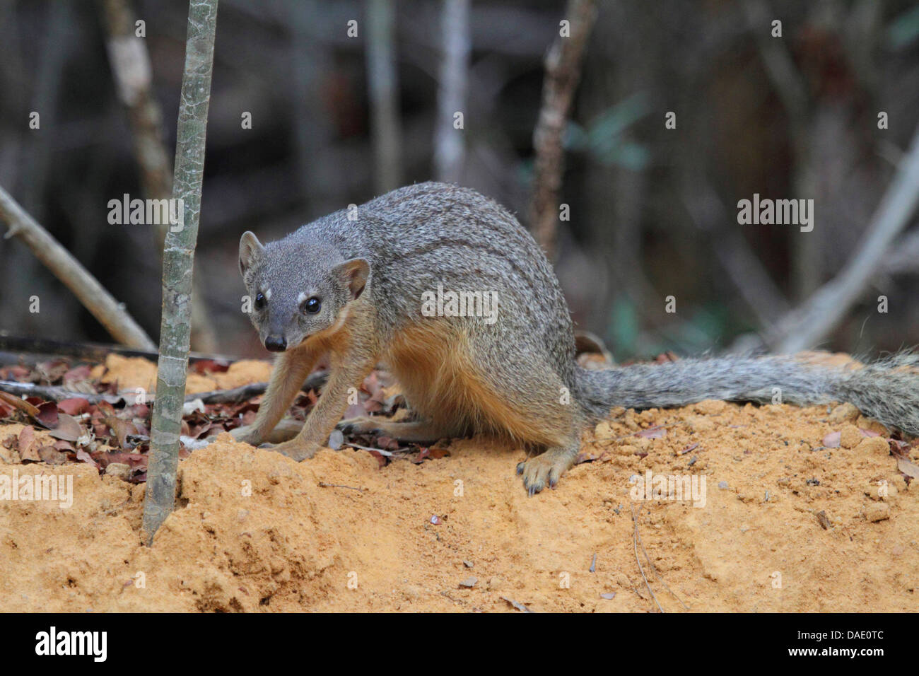 Narrow-striped mongoose, Malagasy narrow-striped mongoose (Mungotictis decemlineata), Mongoose sitting on sand hill - Stock Image