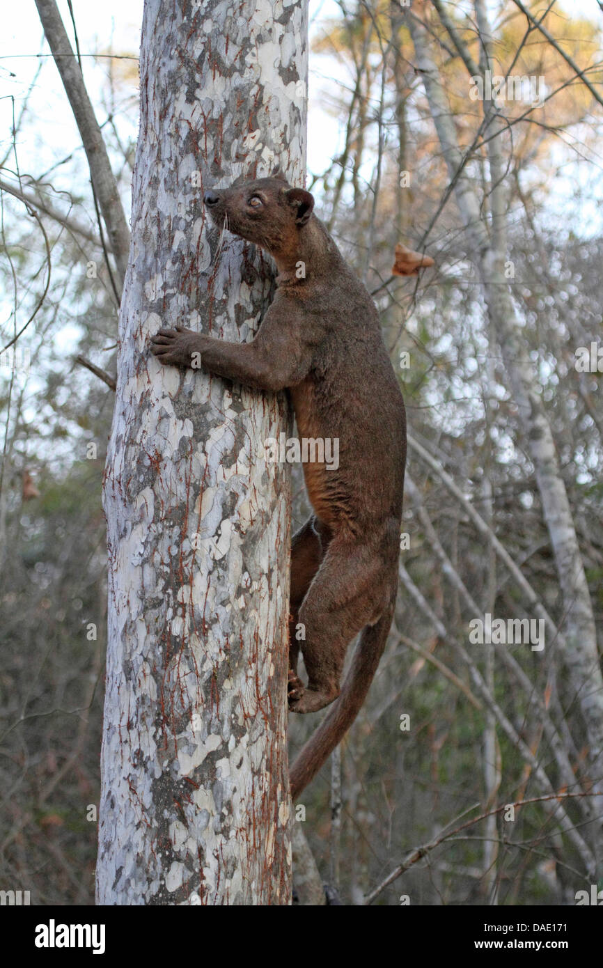 fossa (Cryptoprocta ferox), climbing a tree early morning, largest predator of Madagascar, Madagascar, Toliara, - Stock Image