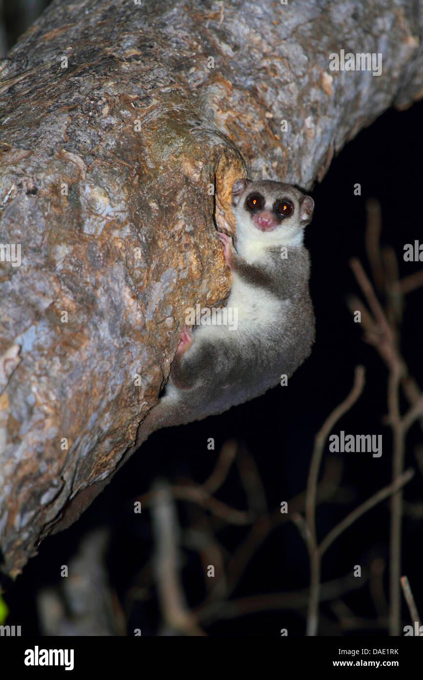 lesser dwarf lemur, fat-tailed dwarf lemur (Cheirogaleus medius), clinging to tree trunk with a hole, Madagascar, - Stock Image