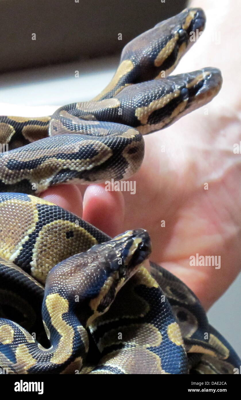 Three Baby Python Regius Curl On The Hand Of An Zookeeper At Zoo In Berlin