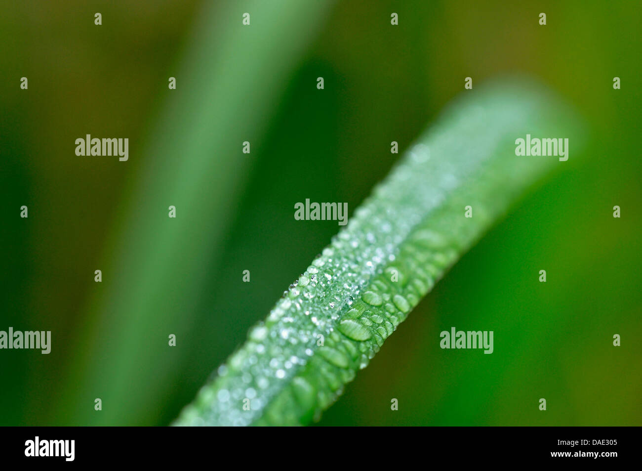 dewdrops on a sedge leaf, Germany - Stock Image