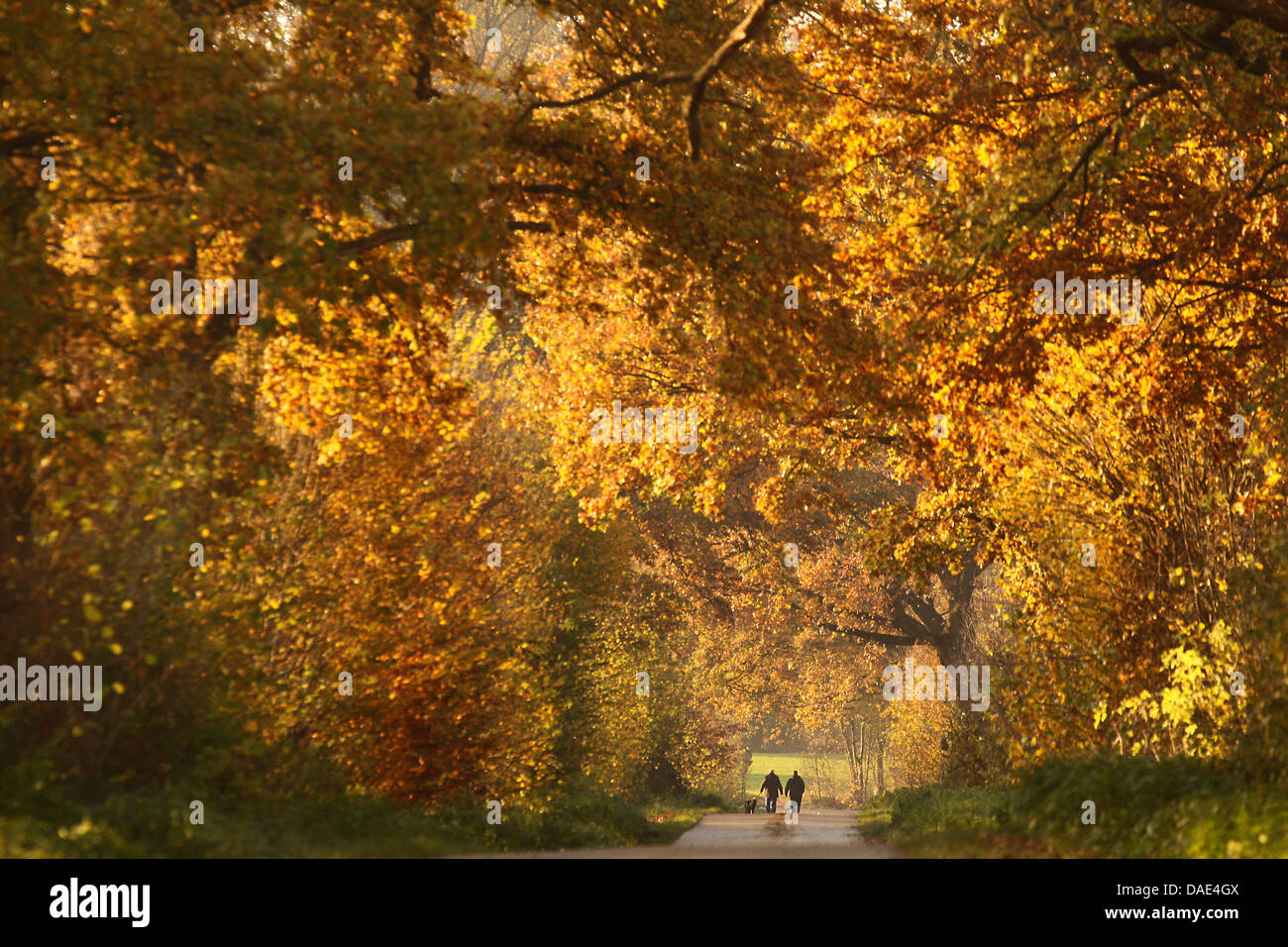 Day-trippers walk along an avenue of autumnal coloured trees near Bad Segeberg, Germany, 12 November 2011. The weather - Stock Image