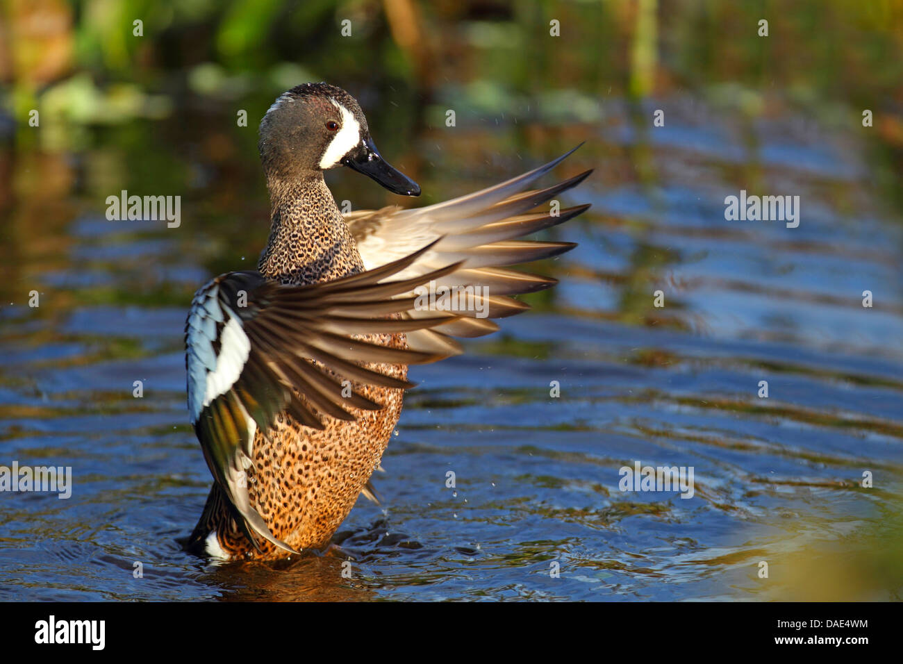 blue-winged teal (Anas discors), drake beating the wings on the water, USA, Florida - Stock Image