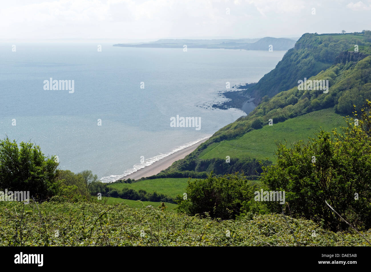 Jurassic Coast at Weston Mouth near Sidmouth on a fine early summer day with alexanders flowering and trees in early - Stock Image