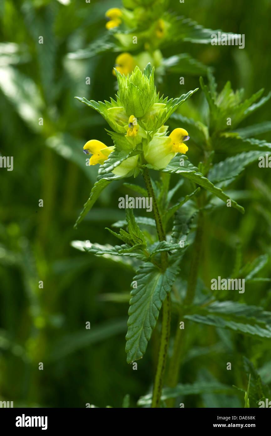 Yellow rattle plant, Rhinanthus minor, flowering in grassland. - Stock Image