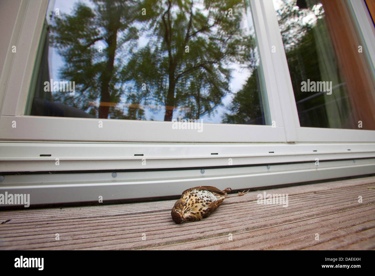 song thrush (Turdus philomelos), lying deadly injured in front of a window, Germany - Stock Image