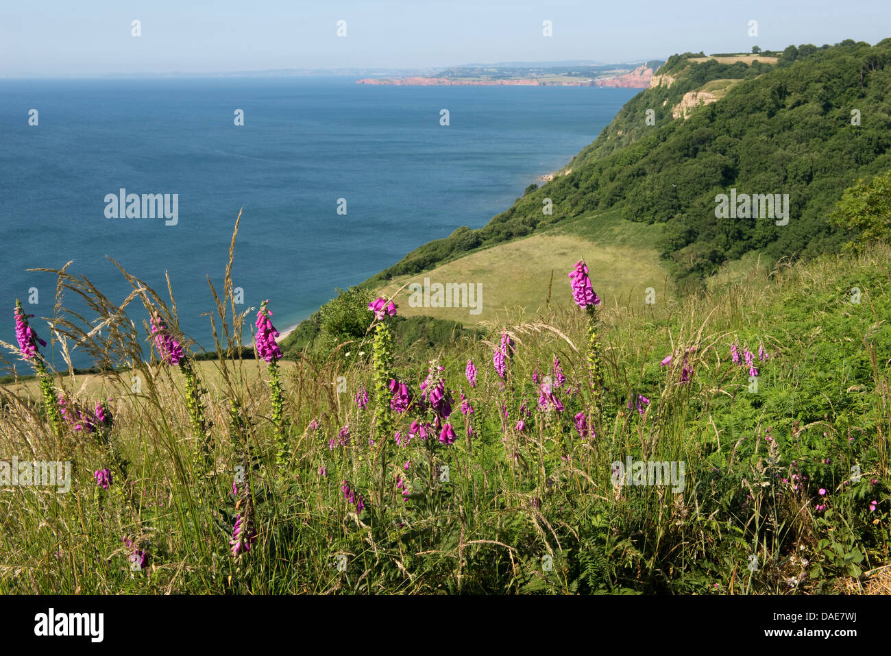 Foxgloves flowering on Jurassic Coast, cliffs and fields at Weston Mouth near Sidmouth on a fine summer day - Stock Image