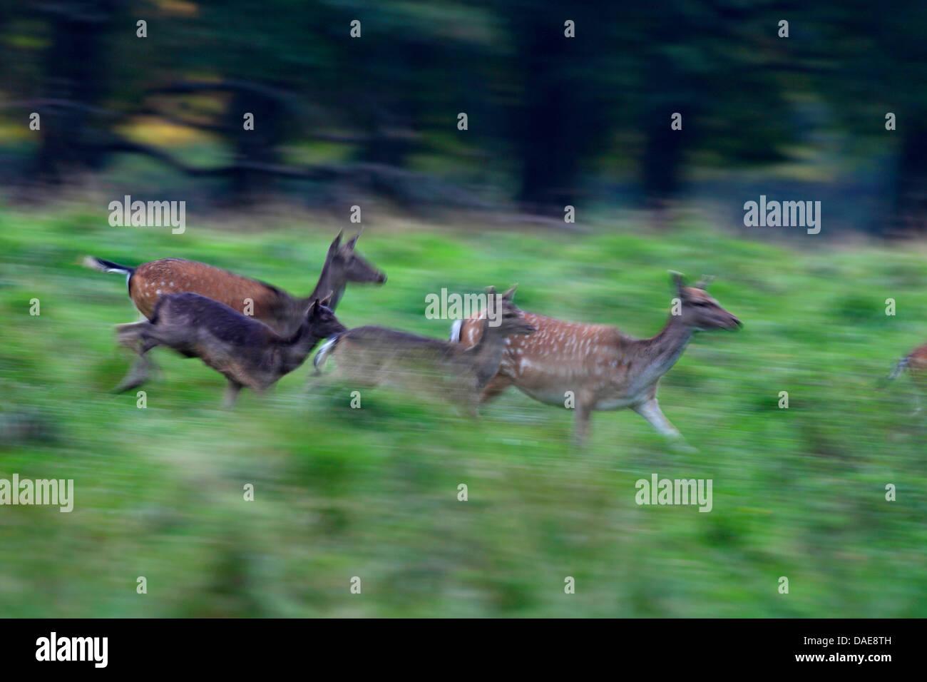 fallow deer (Dama dama, Cervus dama), fleeing pack, Denmark Stock Photo