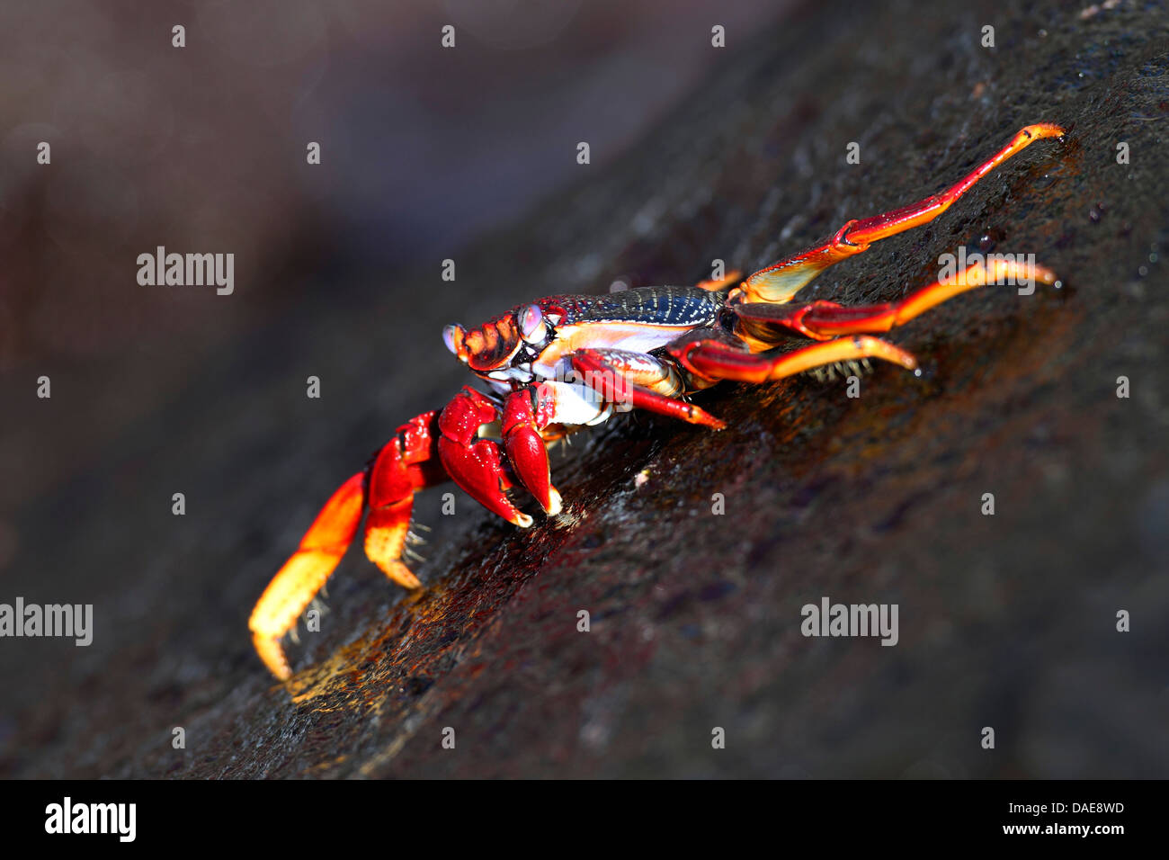 Sally lightfoot crab, Mottled shore crab (Grapsus grapsus), walking on a rock in the surf, Canary Islands, La Palma - Stock Image