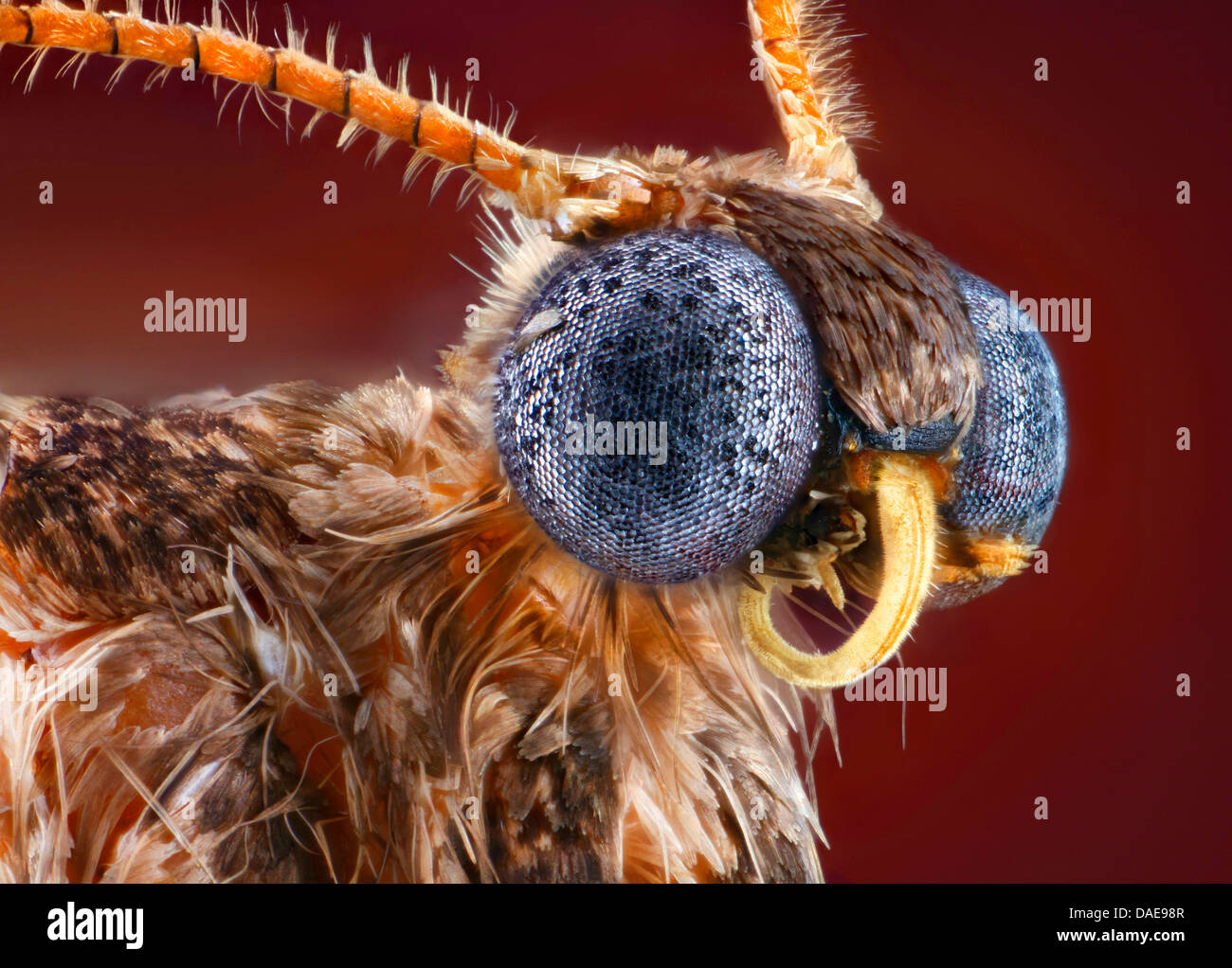 winter moth, small winter moth (Operophtera brumata, Cheimatobia brumata), portrait with rolled up sucker, Germany, - Stock Image