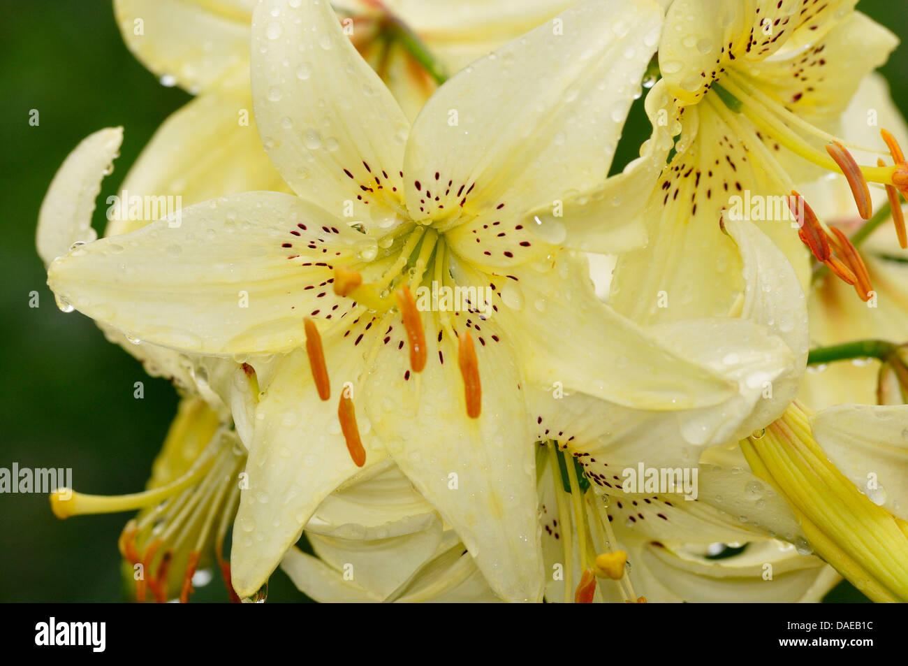 Lily flowers with raindrops stock photos lily flowers with lily flowers with raindrops stock image izmirmasajfo
