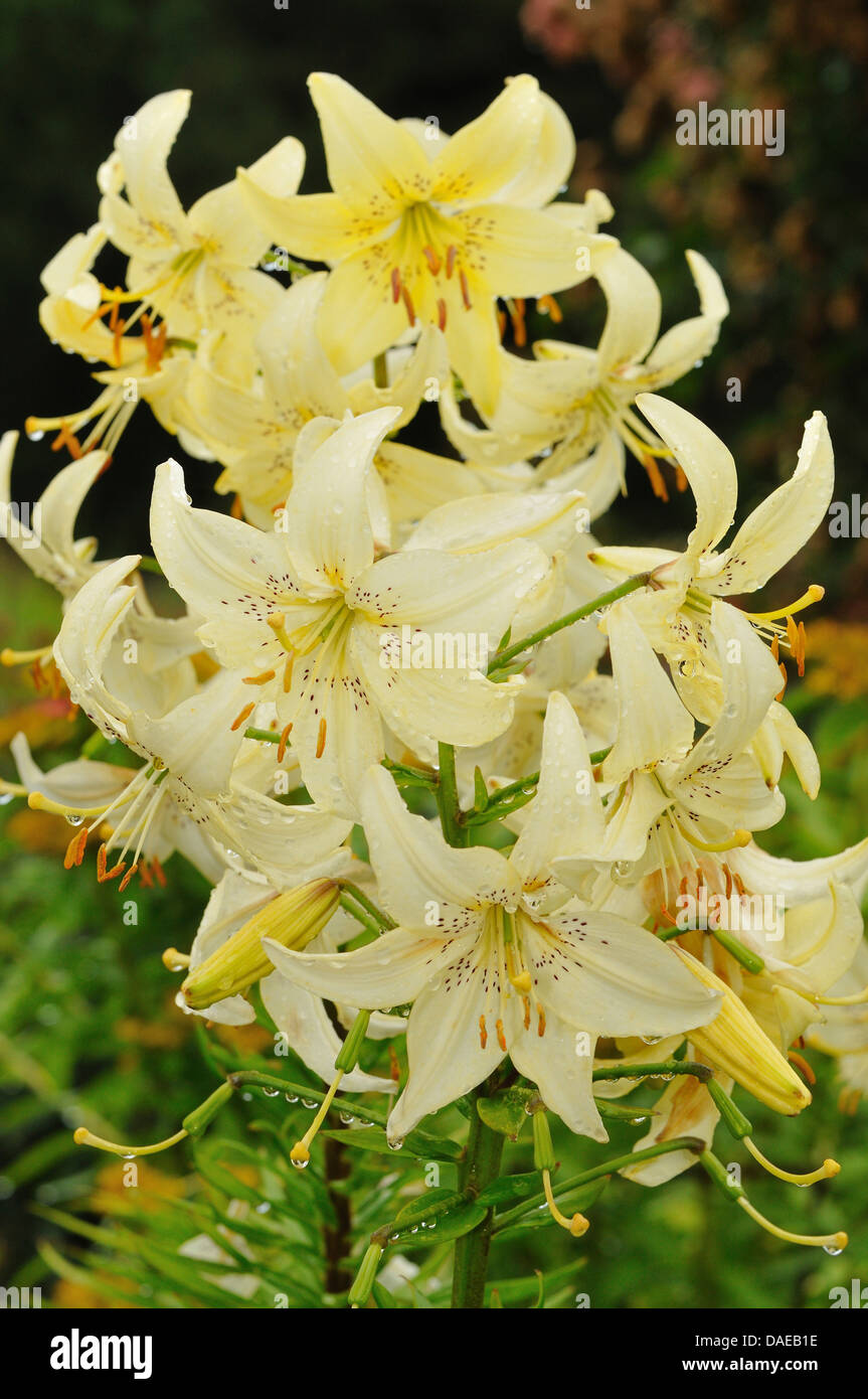 Lily flowers with raindrops stock photos lily flowers with lily flowers with raindrops stock image izmirmasajfo Gallery