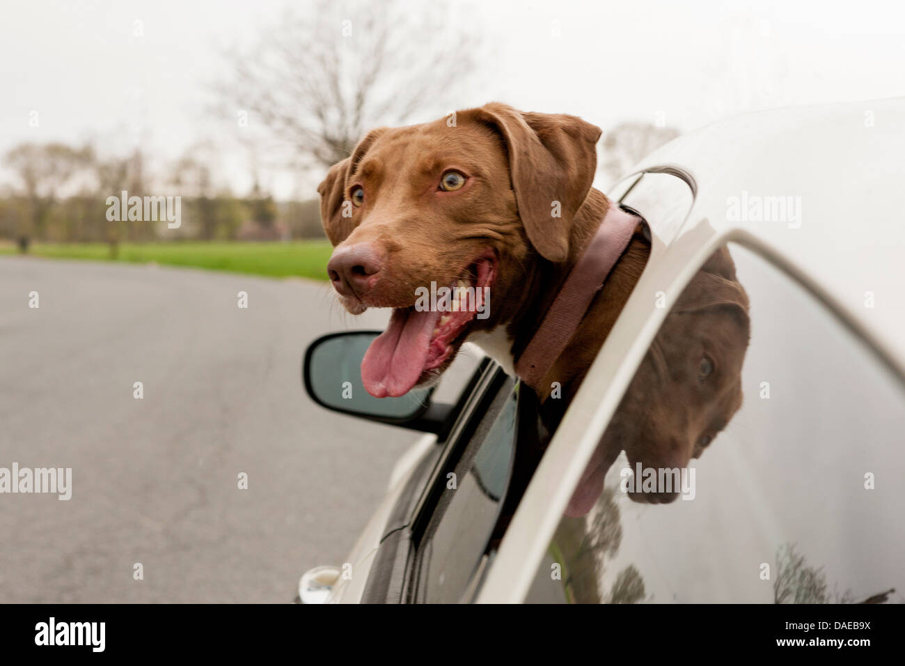 Dog with head sticking out of car window - Stock Image