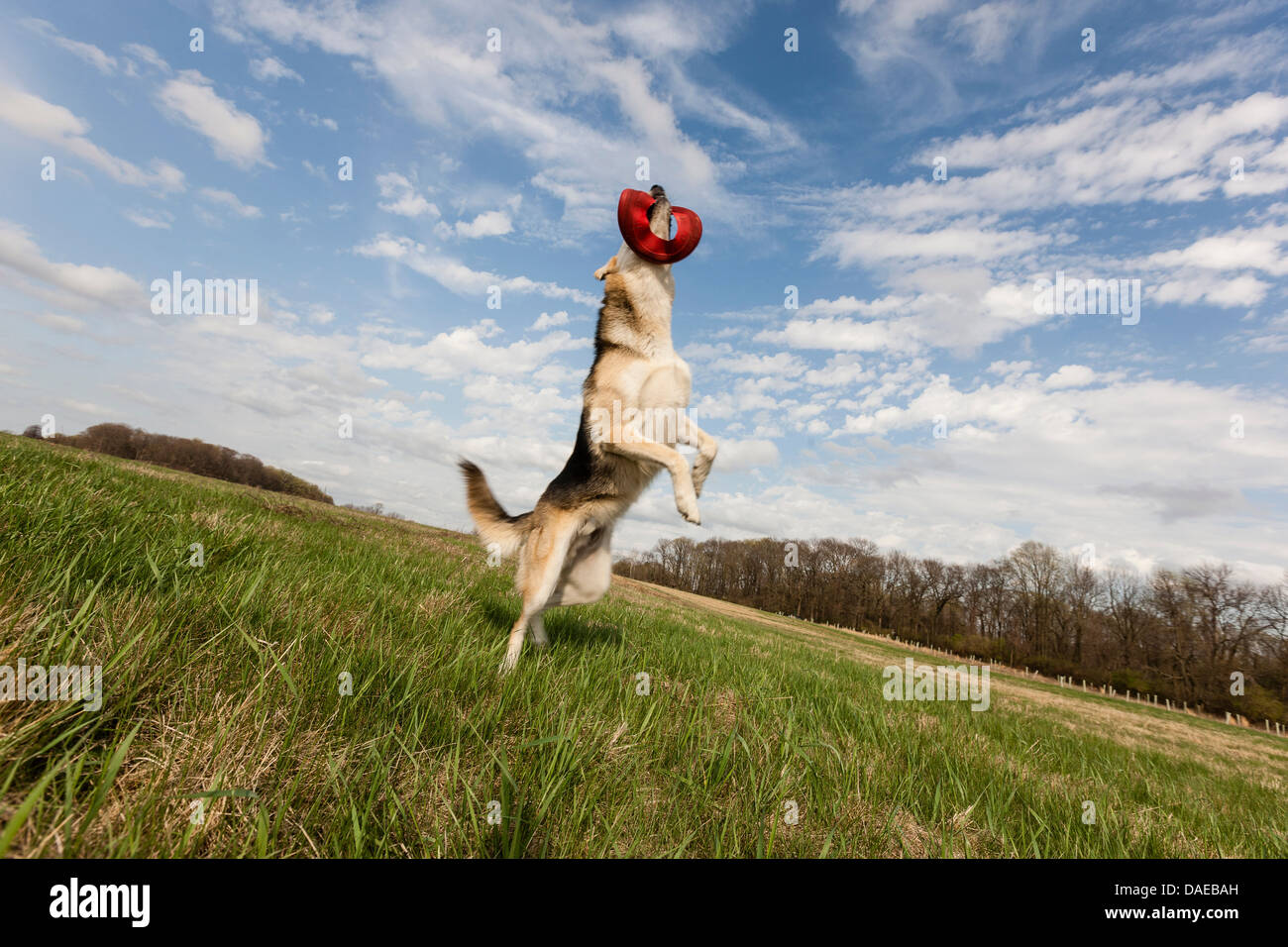Alsatian dog leaping up to catch frisbee - Stock Image