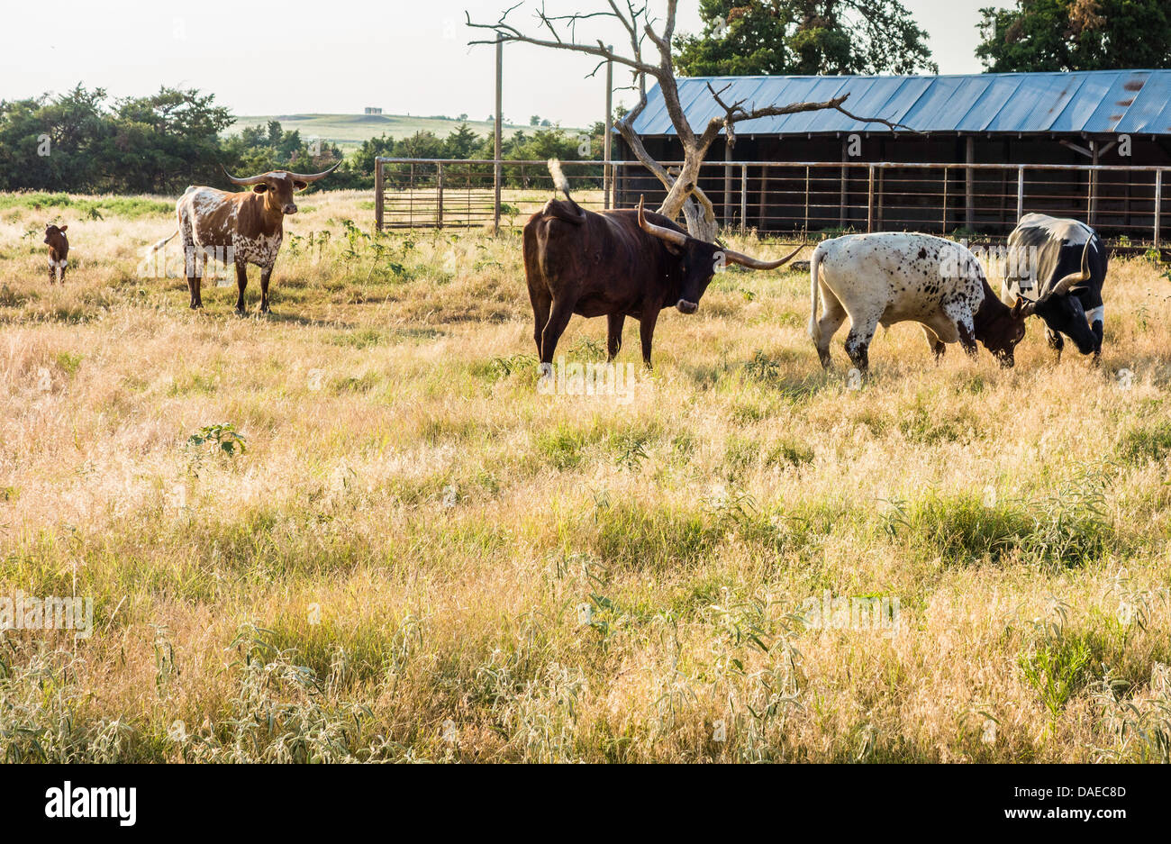 Longhorn cattle,bos, in a rural Oklahoma pasture with shed. USA - Stock Image