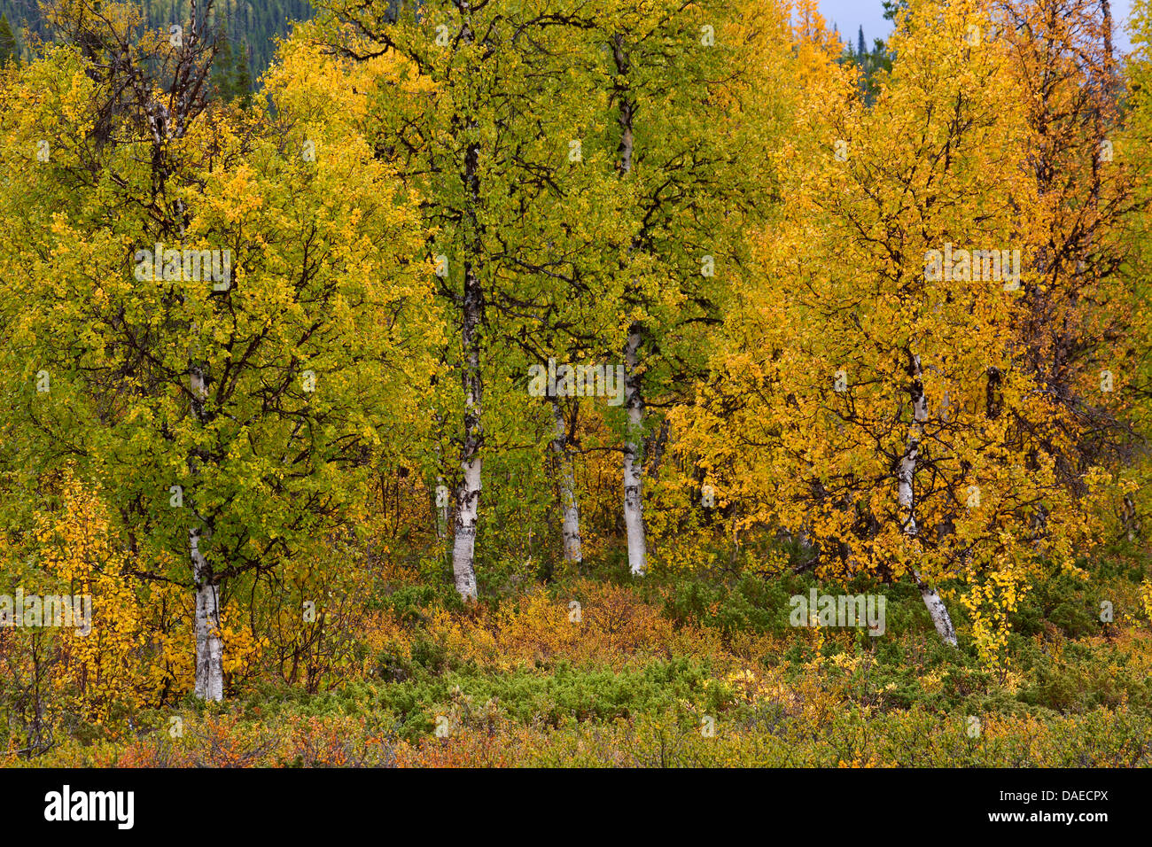 downy birch (Betula pubescens), Downy Birch in fall , Sweden, Lapland, Norrbottens Laen, Sarek National Park - Stock Image