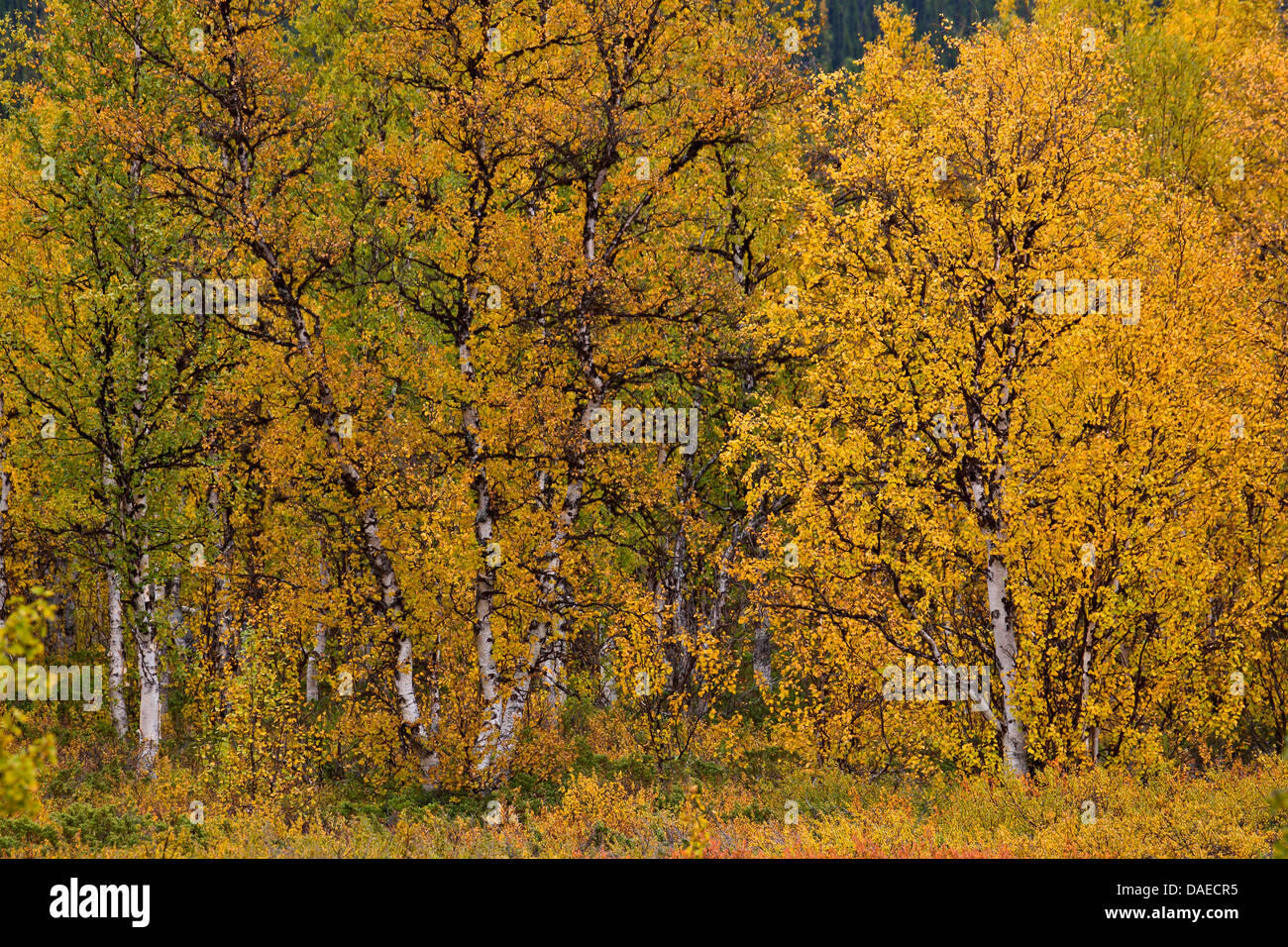 downy birch (Betula pubescens), downy birches in fall , Sweden, Lapland, Sarek National Park, Norrbottens Laen - Stock Image