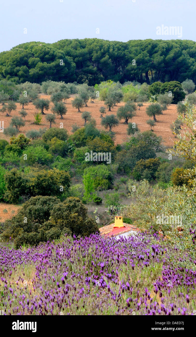 panoramic view ober a landscape with olive trees and , Spain, Extremadura Stock Photo