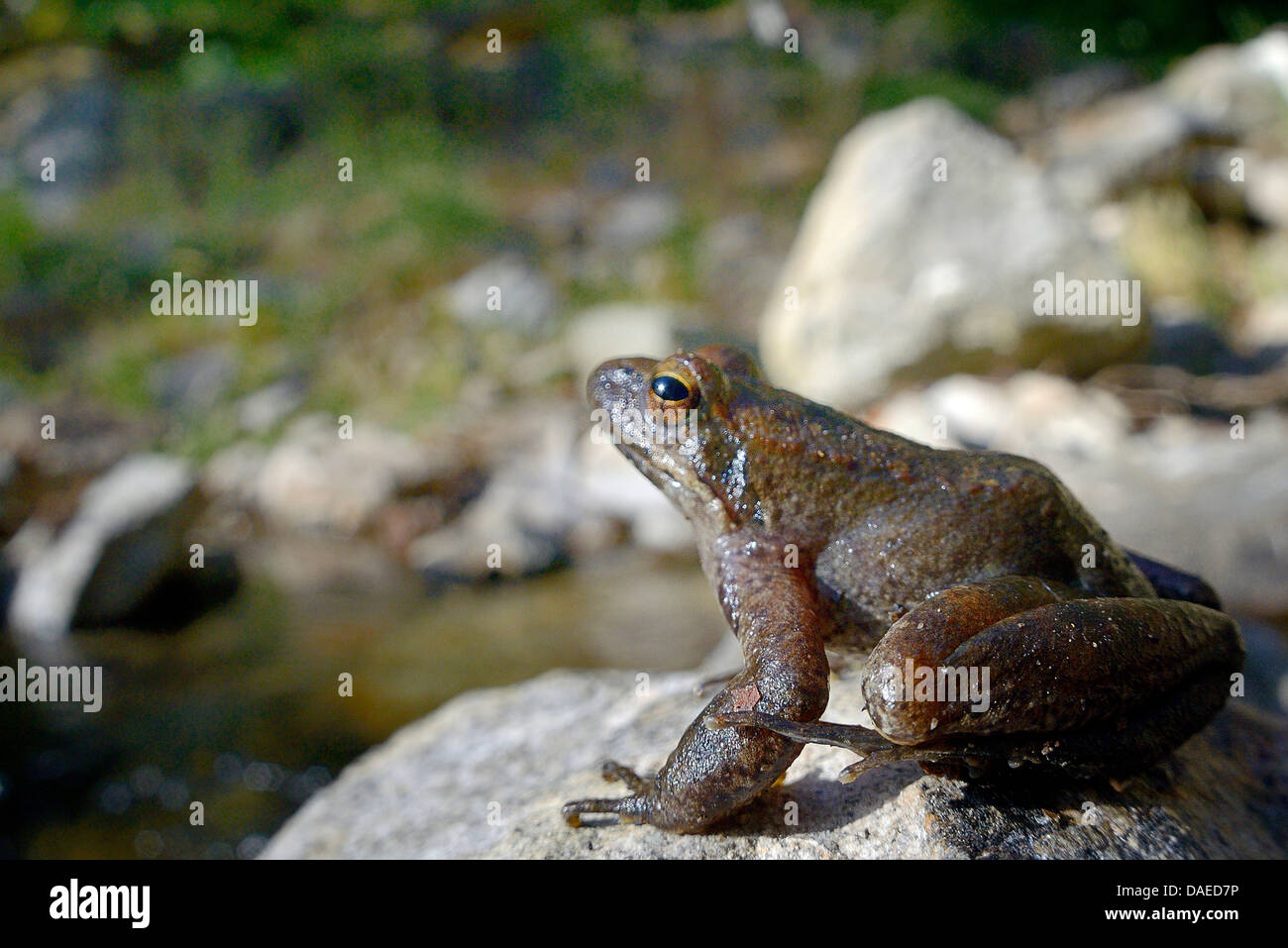 Italian stream frog (Rana italica), Italien stream frog sitting next to mountain creek at Aspromonte National Park, - Stock Image