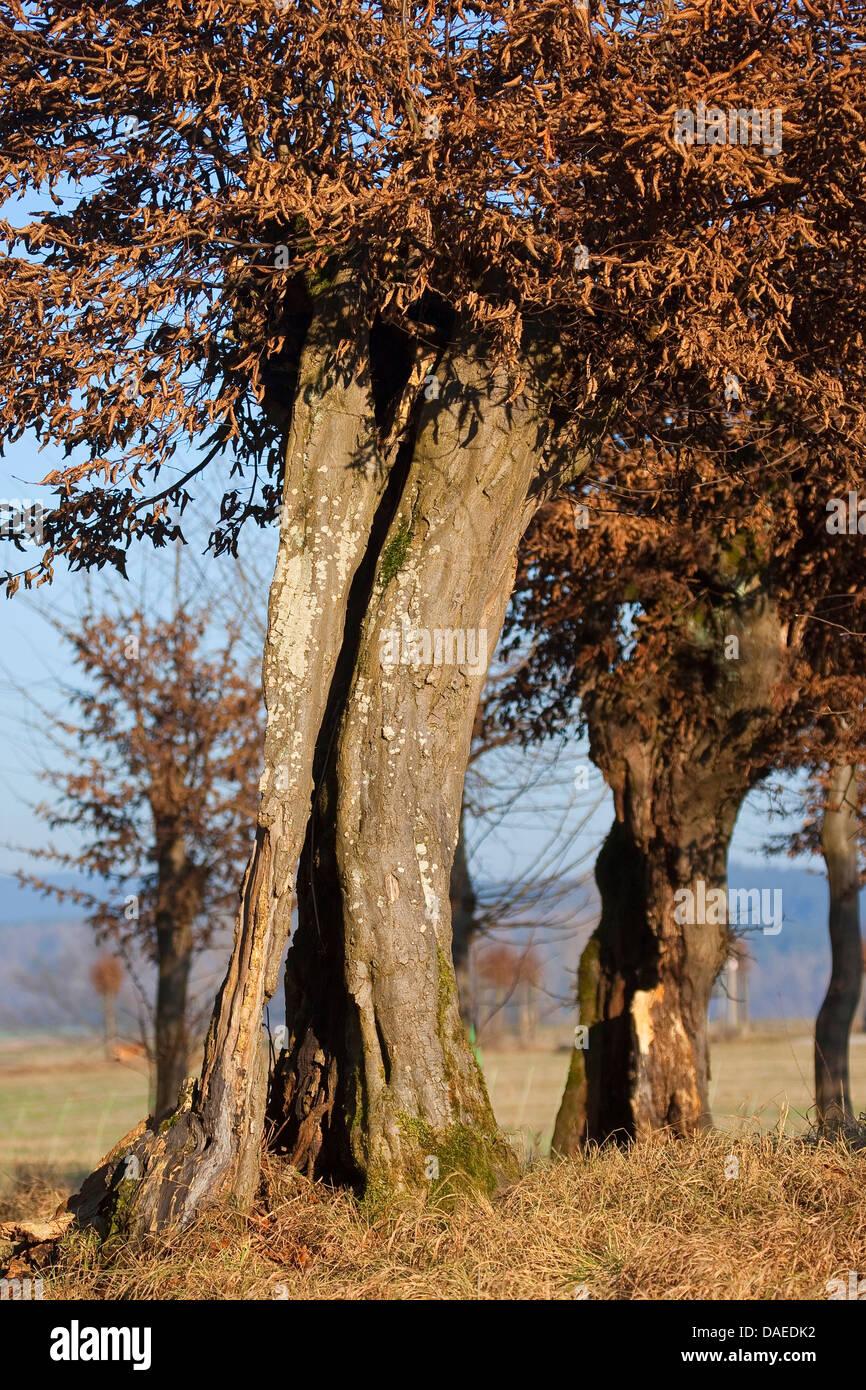 common hornbeam, European hornbeam (Carpinus betulus), pollarded tree, Germany - Stock Image