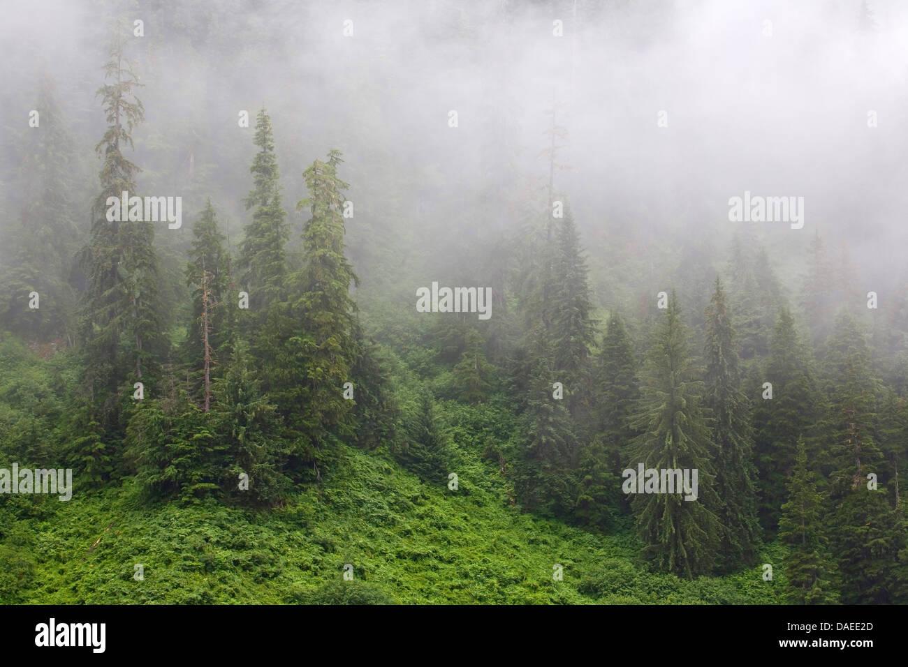Mountain hemlock (Tsuga mertensiana), Waft of mist in mountain forest, USA, Alaska, Misty Fjords National Monument - Stock Image