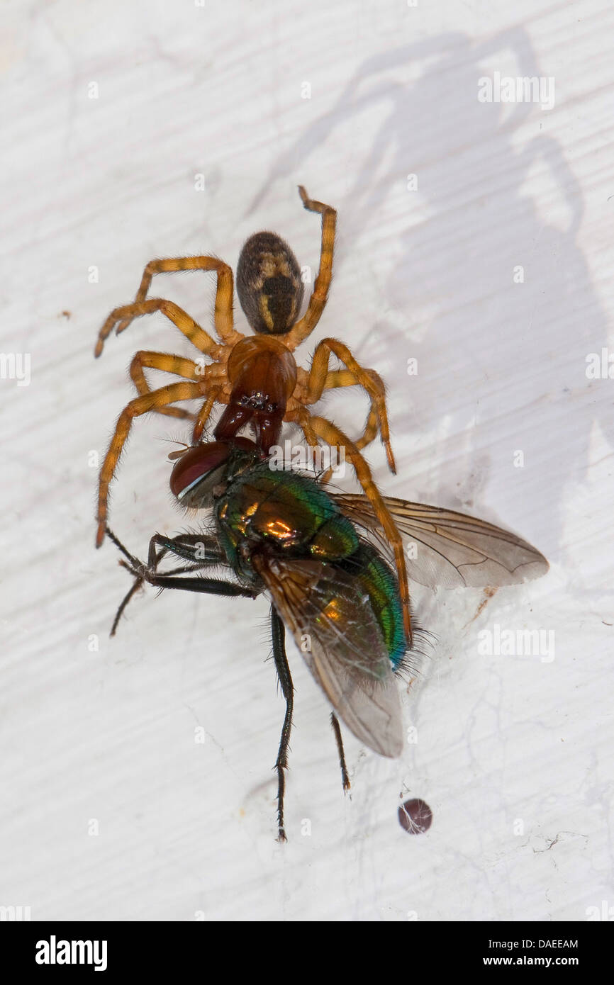 window lace weaver (Amaurobius fenestralis oder Amaurobius similis), female with caught green bottle fly, Germany Stock Photo