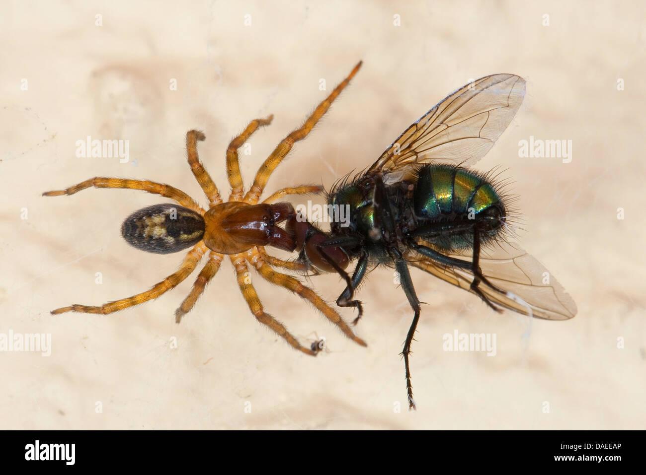 window lace weaver (Amaurobius fenestralis oder Amaurobius similis), female with caught green bottle fly, Germany - Stock Image
