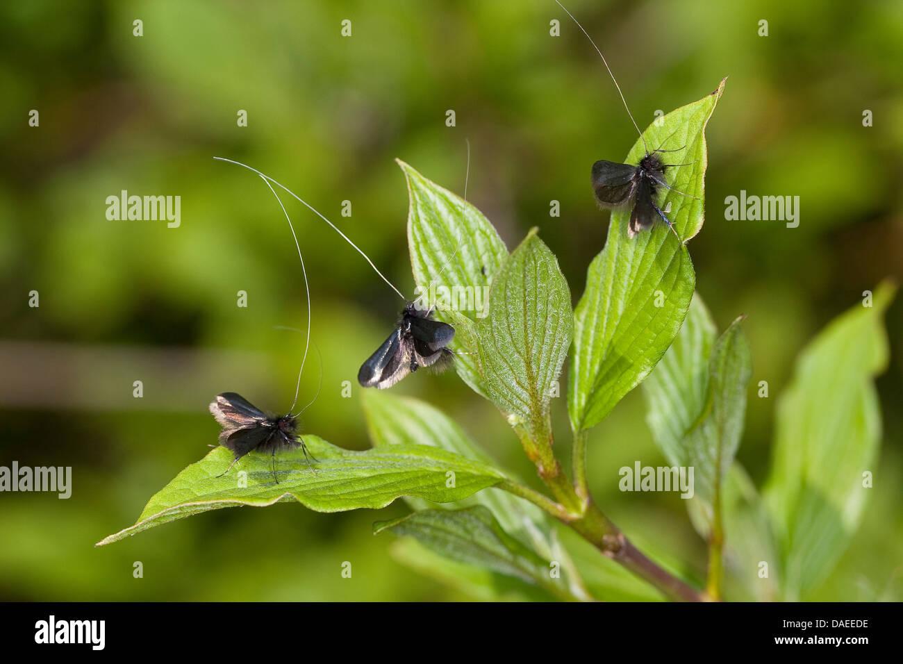 Green Longhorn, Green Long-horn (Adela reaumurella, Phalaena reaumurella, Phalaena viridella, Adela viridella), Stock Photo