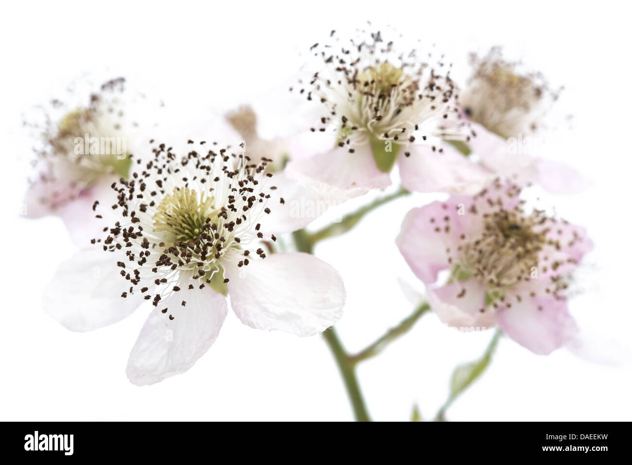 Blackberry Blossom Flowers On A White Background Stock Photo