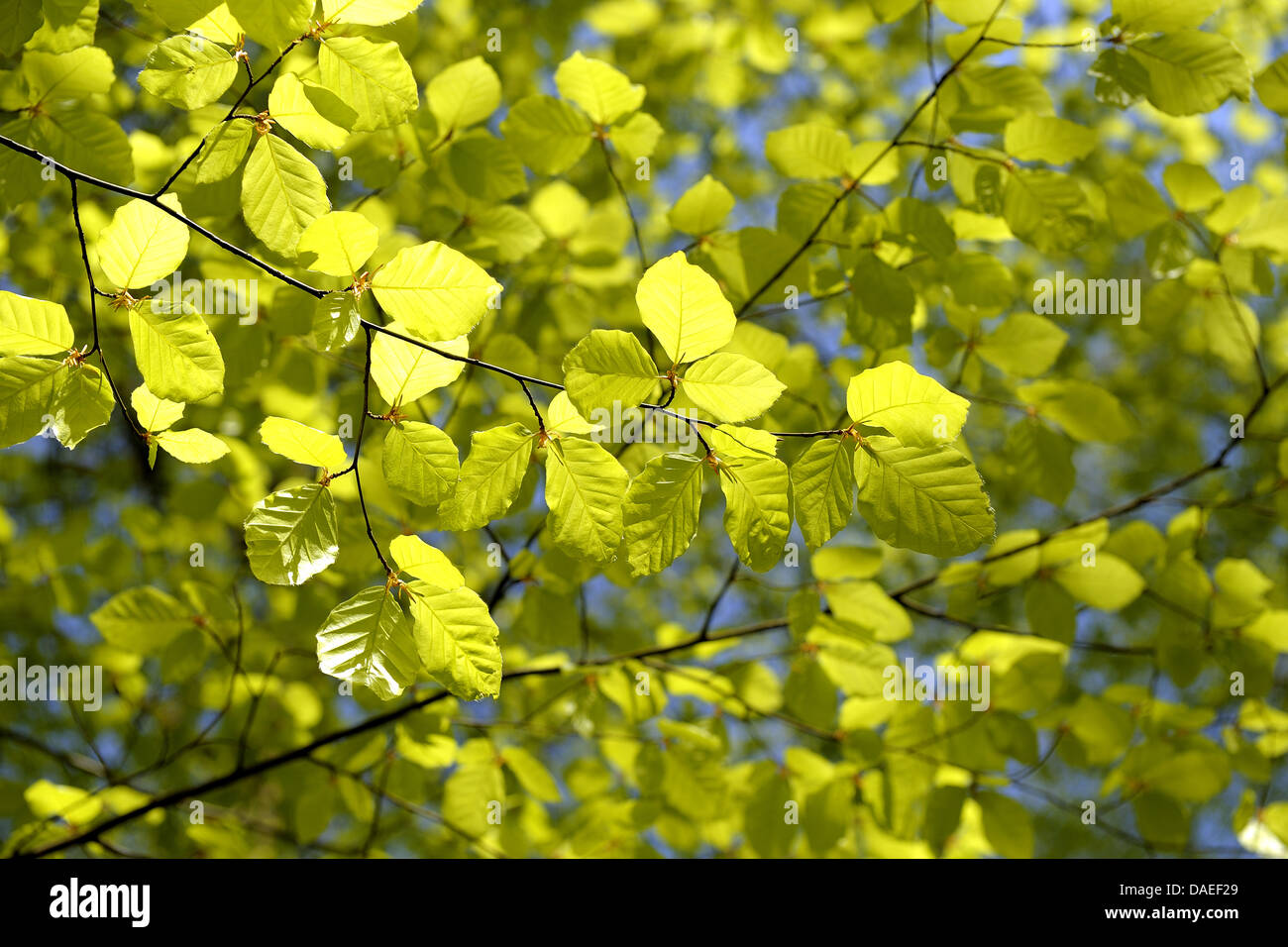 common beech (Fagus sylvatica), Beech Tree Leaves in Spring, Germany, Baden-Wuerttemberg, Black Forest - Stock Image