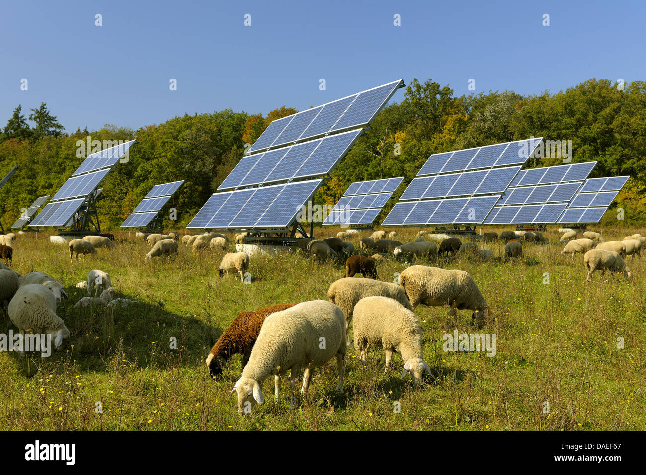 domestic sheep (Ovis ammon f. aries), Solar Panels with sheep in Field, Germany, Bavaria - Stock Image