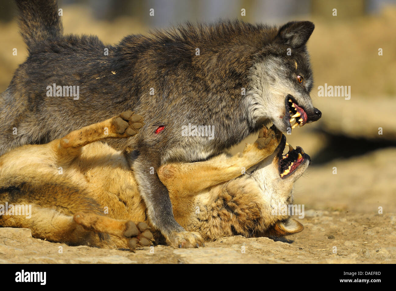 European gray wolf (Canis lupus lupus), Wolves Battle in the Mating Period, Germany - Stock Image