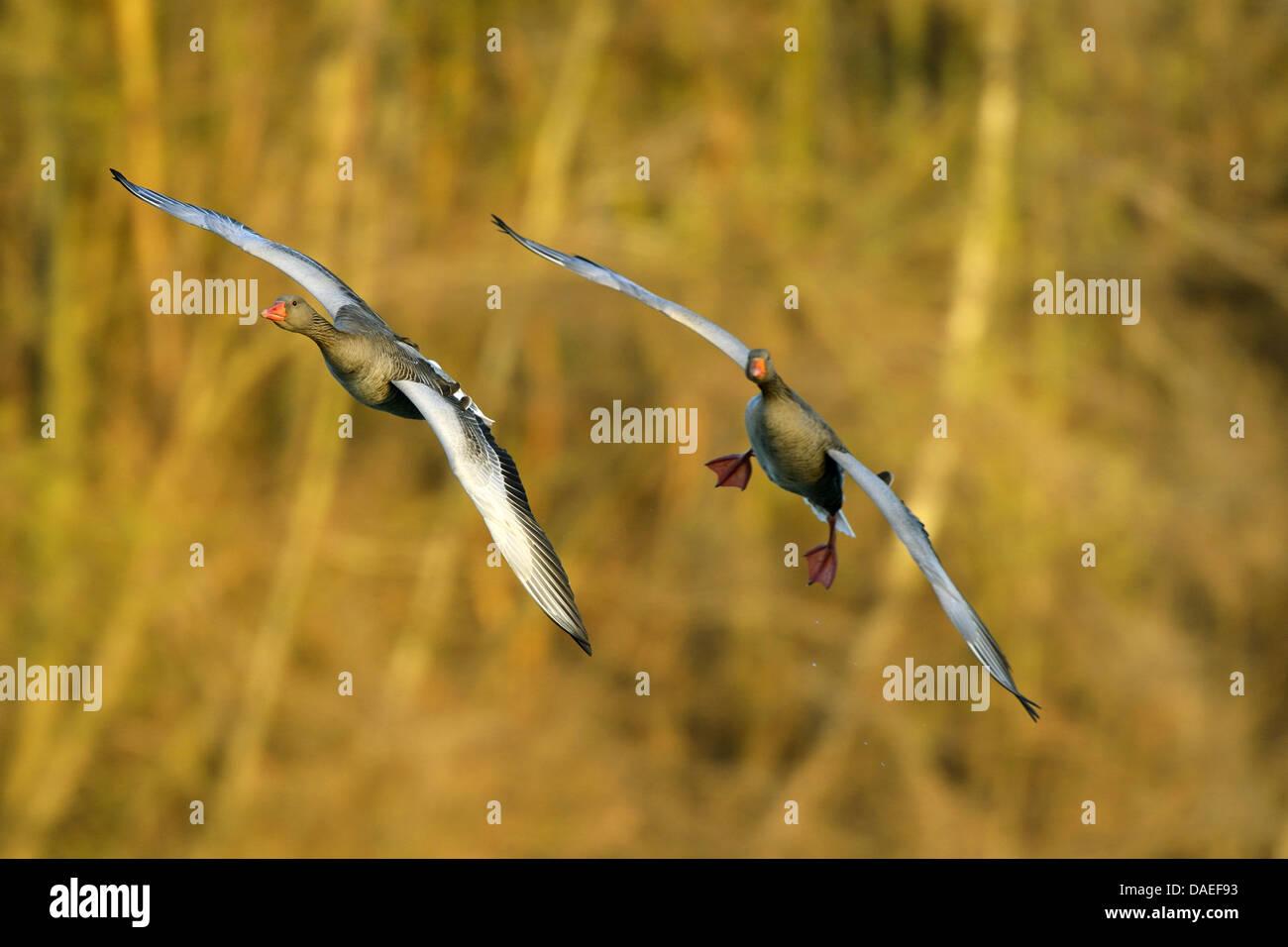 greylag goose (Anser anser), two Grey Lag Goose im Landeanflug, Germany, Bavaria Stock Photo