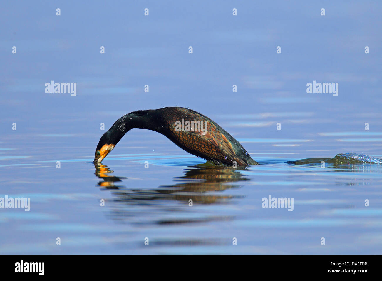 great cormorant (Phalacrocorax carbo), started diving in the water, Greece, Kerkinisee - Stock Image